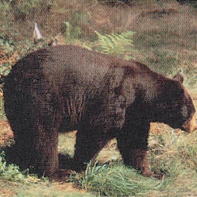Állatos lőlap (fekete medve)