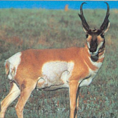 Állatos lőlap (antilop)